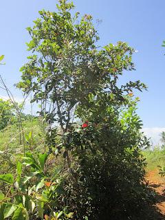 Ironwood Tree is a slow-growing, medium-sized, deciduous hardwood tree.