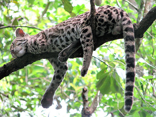 Margay in tree showing tail