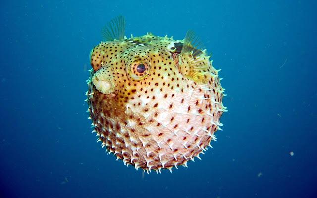 سمكة-المنفاخ-اخطر-حيوان-في-العالم