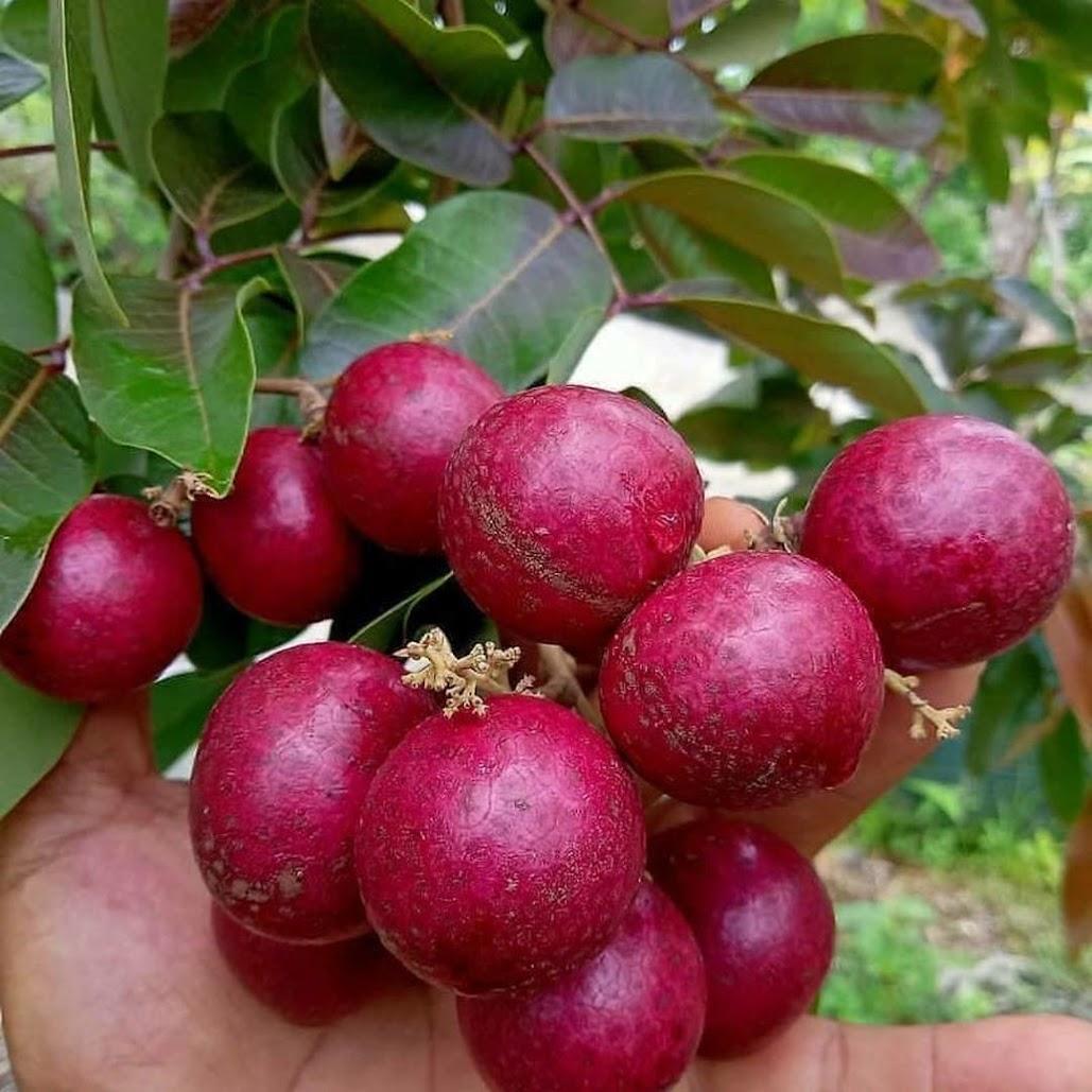 bibit klengkeng merah berbunga Jawa Timur