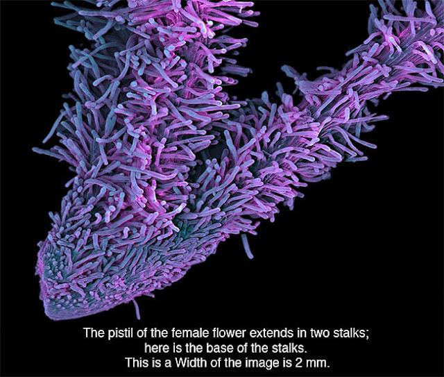 penampakan ganja dilihat melalui mikrosko | carabaru.net