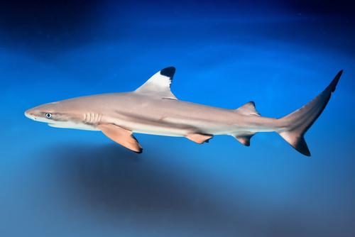 black tip shark bite - photo #24