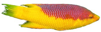 Peixe Bodião Papagaio (Bodianus rufus)