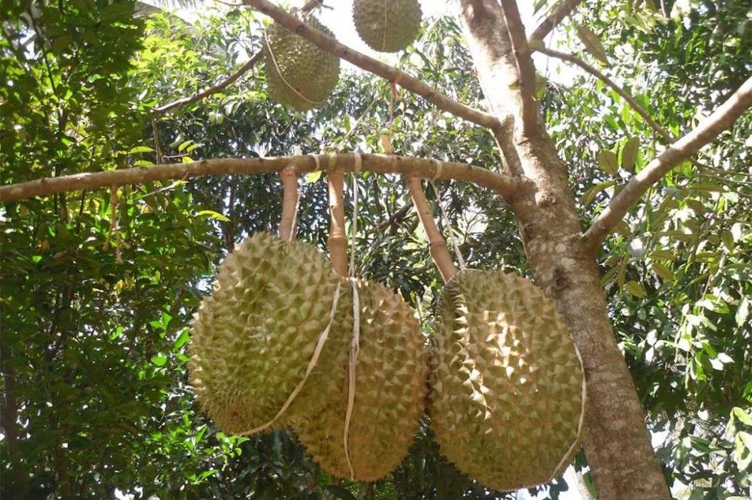 Bibit Durian Montong Bibit Alpukat Mentega Tangerang Selatan