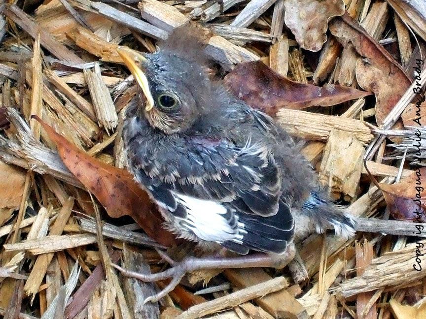 Baby Mockingbird in the Cypress Mulch