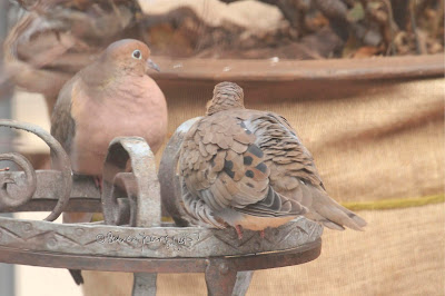 "This image features a pair of Mourning doves perched on a metal stand. The one on the left is very puffed up as birds tend to do to keep warm in cold weather. He is gazing intently at whatever he is seeing.  The one on the right has her back to us revealing her feathers which are beautifully preened.  Mourning doves are featured in my three volume book series, ""Words In our Beak."" Info re these books is in another post on this blog which is @ https://www.thelastleafgardener.com/2018/10/one-sheet-book-series-info.html"