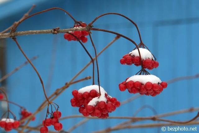 калина зимой фото