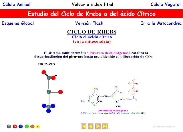 Enlace a la animación del ciclo de Krebs