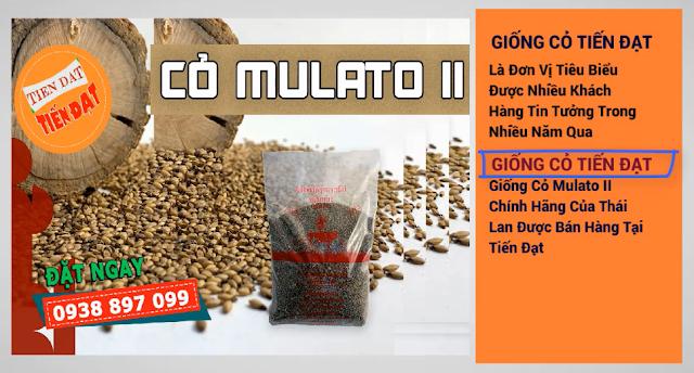 Giá giống cỏ mulato 2