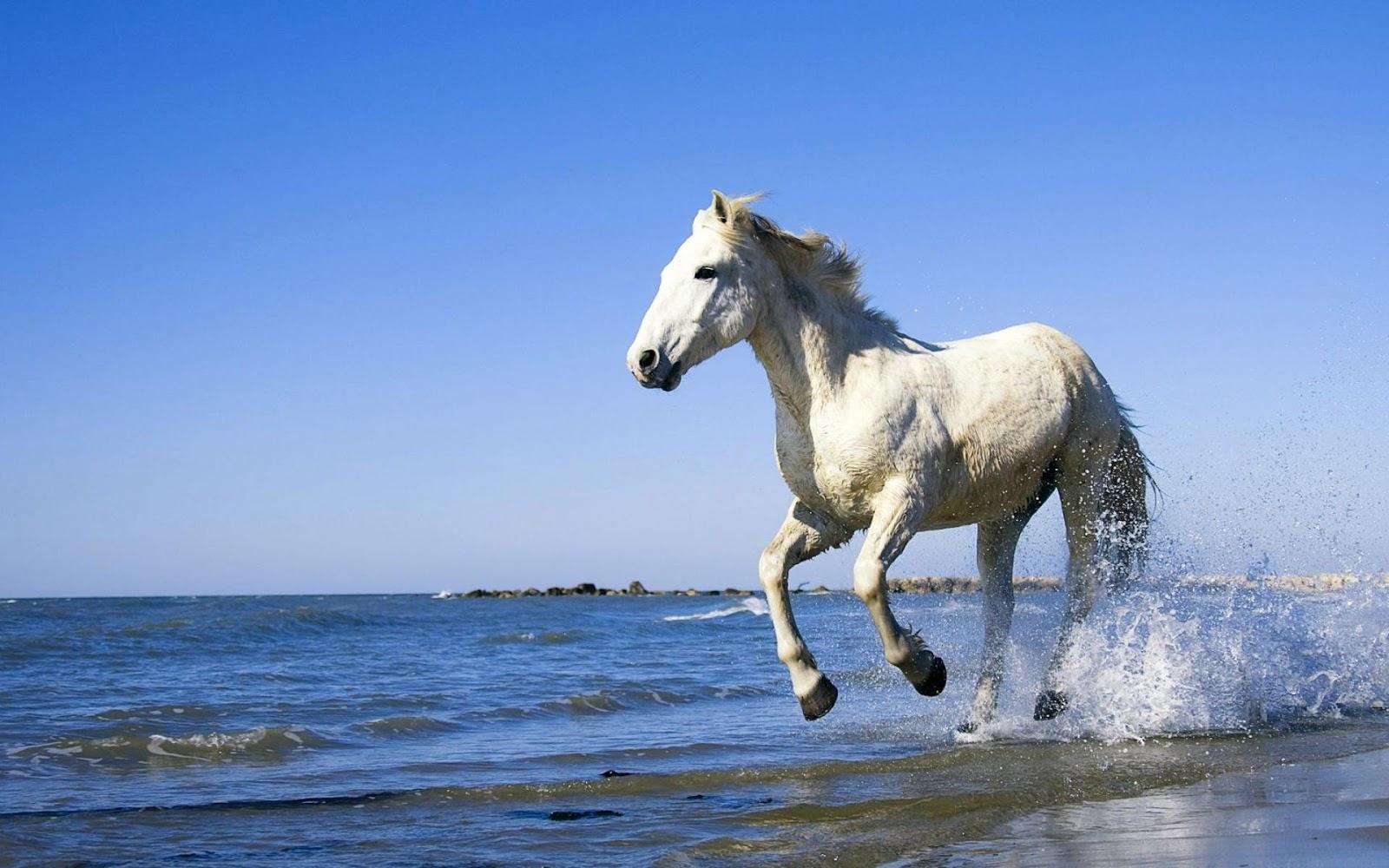 white horse running through sea | hd animals wallpapers