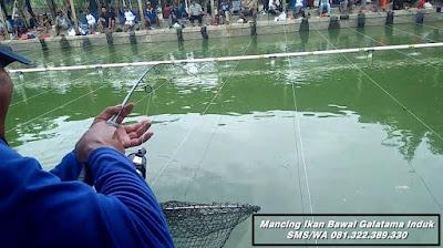 Essen Ikan Bawal Induk Galatama