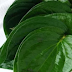 Benefits Of Betel Leaf In Traditional Medicine
