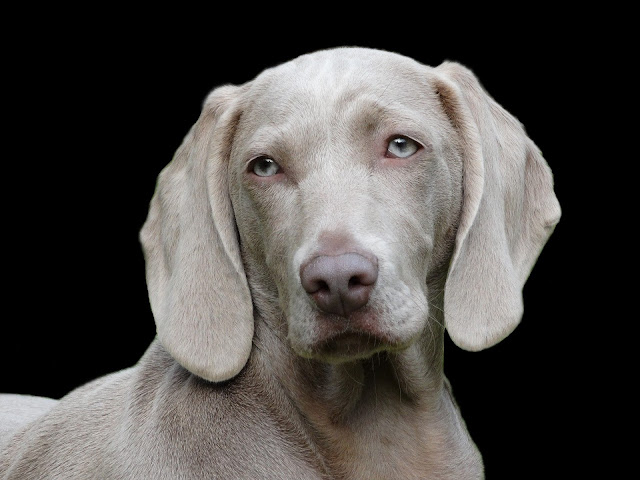 كلب أبيض بعيون زرقاء