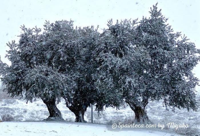 白雪が積もっていくスペインのオリーブ木