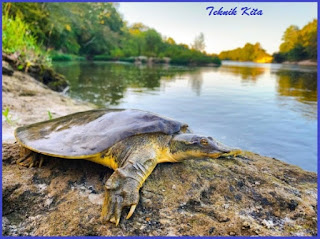 Bulus Soft shell