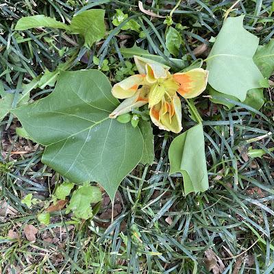 bee,beekeeping,tulip poplar, white clover,spiderwort,spring,swarm trap,swarm lure,