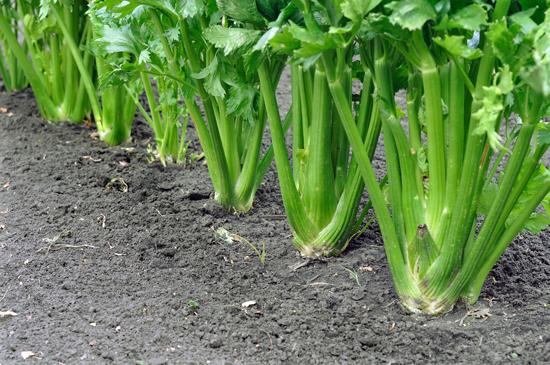 Celery growing in ground
