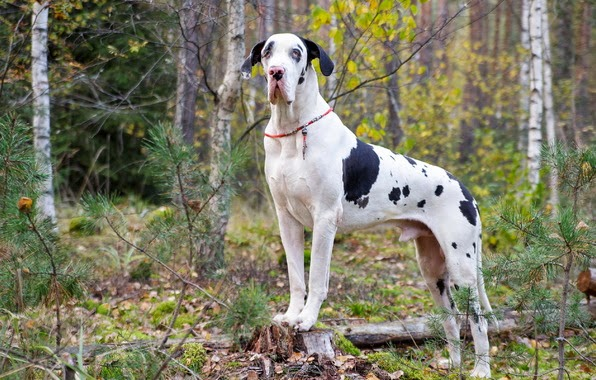 Great Dane Dog Wallpapers: Latest Hd Wallpaper: Great Dane Largest Dog