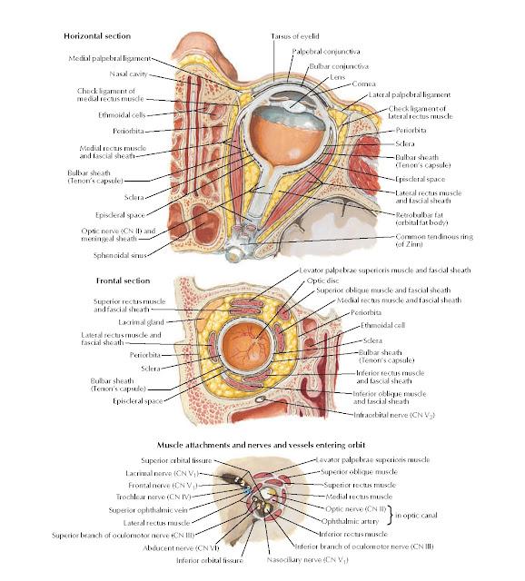 Fasciae of Orbit and Eyeball Anatomy