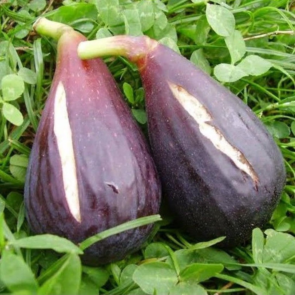 Bibit buah tin MORO DE CANEVA jenis buah tin yang sangat produktif Jawa Barat