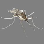 mosquito in spanish