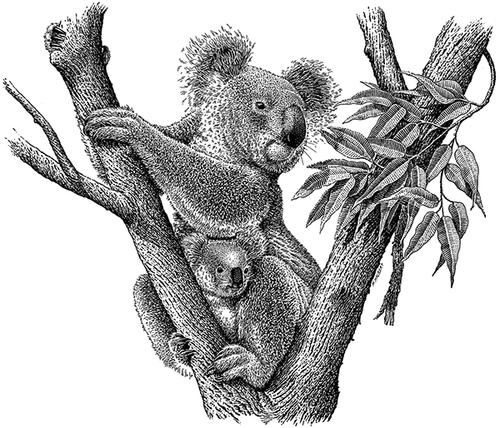 16-Koala-Michael-Halbert-Scratchboard-Images-of-Animals-and-Architecture-www-designstack-co