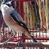 Mengatasi burung pentet/cendet mbagong miyik dan galak