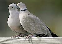 Yan yana iki kumru kuşu