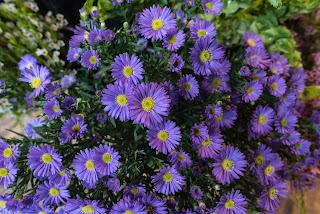 Høstasters med lys lilla blomster