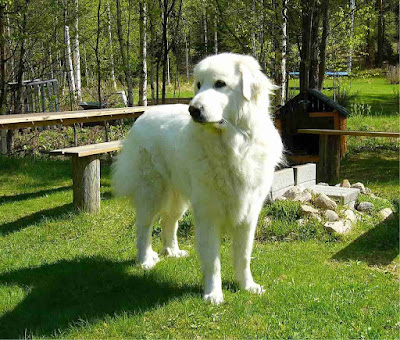 Fluffy dogs, big white fluffy dog