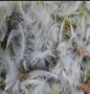 Burung Cucak Jenggot Mabung
