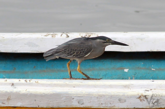 Striated Heron - Sewri Jetty, Mumbai