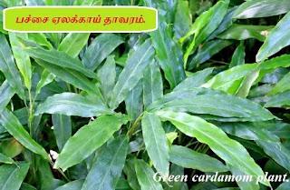 Green Cardamom plant