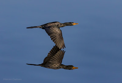 Reed Cormorant in Flight : Milnerton Lagoon / Woodbridge Island, Cape Town