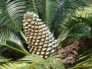 Ceratozamia mexicana - Cératozamie du Mexique - Cycas