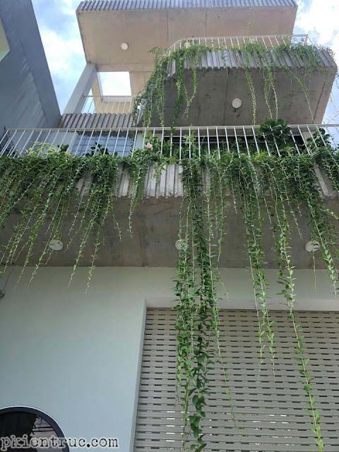 Một vài chậu cây Cúc Tần tố điểm cho ban công nhà phố