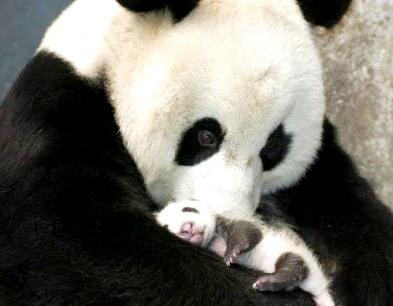 Foto de un oso panda hembra cargando a su cría recien nacido