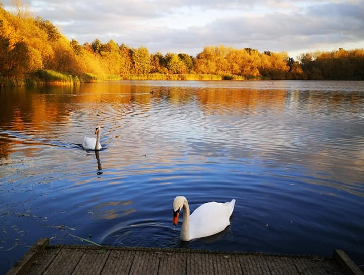 A picture of swans on an autumn day in a Leicestershire nature reserve