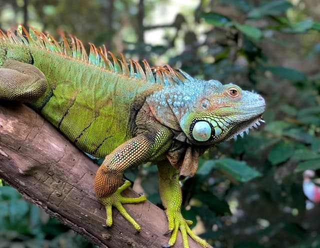aprende ingles partes animales iguana verde sujeta rama arbol