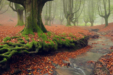 Trees with moss covered roots in a forest with a carpet of orange leaves. The Otzaretta Forest, Spain