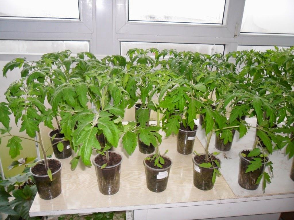 Рассаду помидоров выращиваю на лоджии