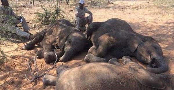 Hallan 90 cadáveres de elefantes en la mayor cacería de furtivos de la historia de África
