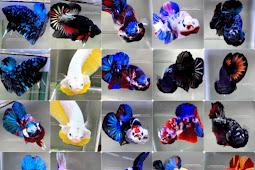 Asal Usul dan Jenis-jenis Ikan Cupang (Betta sp.)