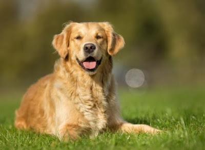 10 besten Begleiter Hunderassen für Ihren Beagle