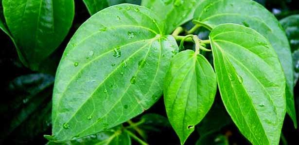 http://rajaramuan.blogspot.com/2014/08/khasiat-dan-manfaat-daun-sirih-untuk-kesehatan.html