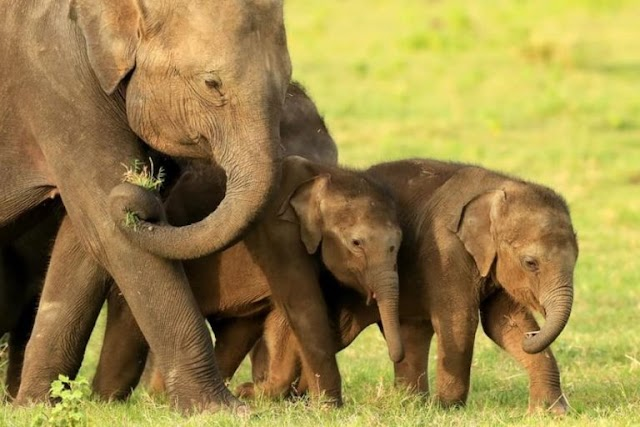 Nature : Two Sets Of Elephant Twins Born Amid Elephant Baby Boom In Kenya