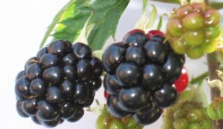 https://fr.wikipedia.org/wiki/M%C3%BBre_(fruit_de_la_ronce)