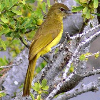 Yellow bellied Greenbul
