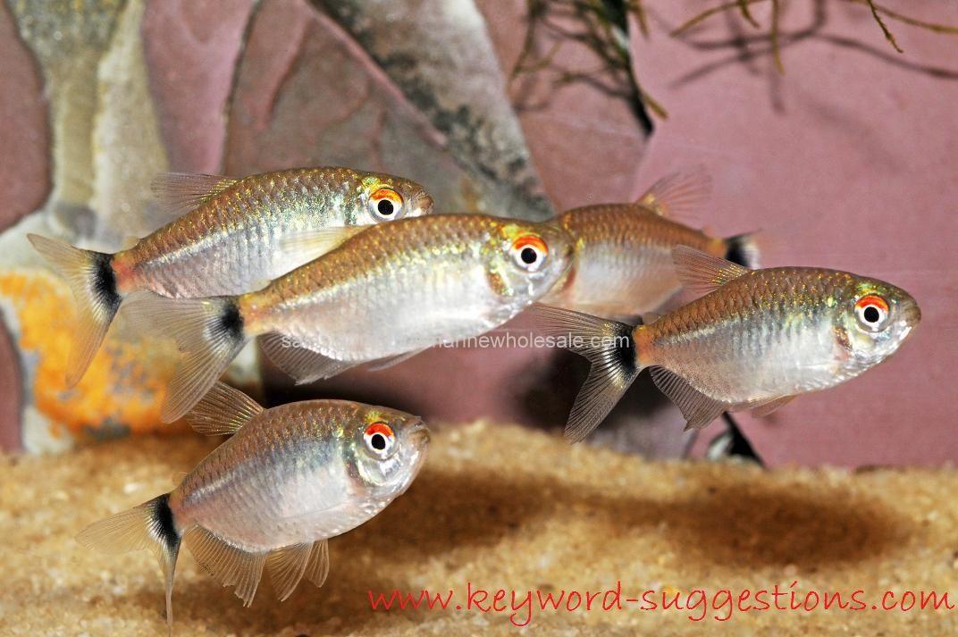 Gambar dan Foto Lihat Kecantikan Dan Cara Merawat Ikan Hias Red Eye Tetra