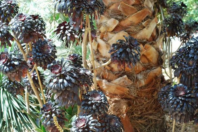 Mature soecimen of black leaved Aeonium arboretum 'Zwartkop'